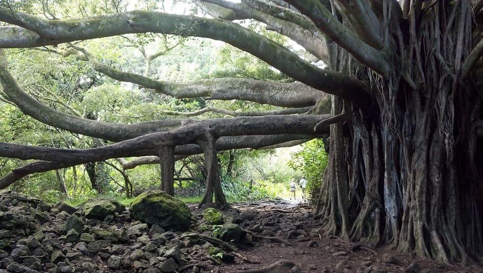 hindu symbol images - Banyan tree
