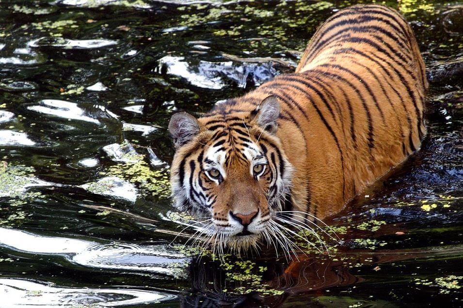 India national symbol tiger