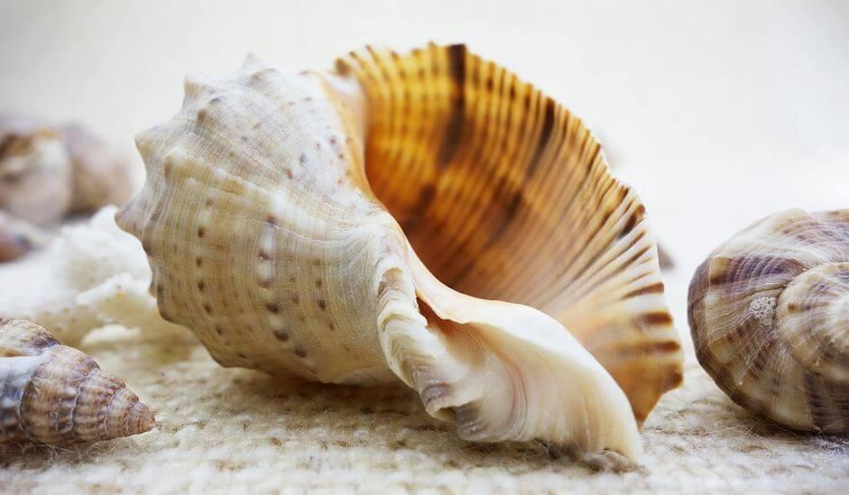 The conche shell - Buddhist symbol
