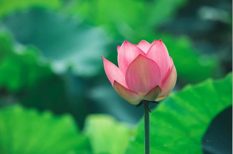 national symbols of india lotus